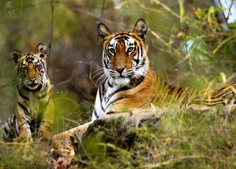 Kanha Bandhavgarh Panna Wildlife Tour with Khajuraho in India